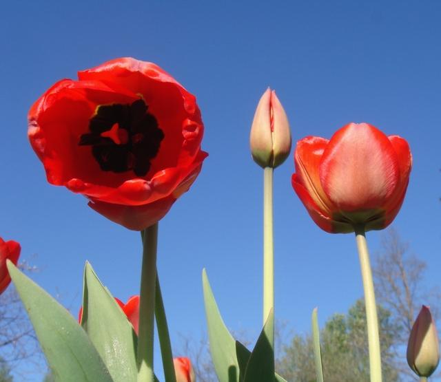 tulpes-007